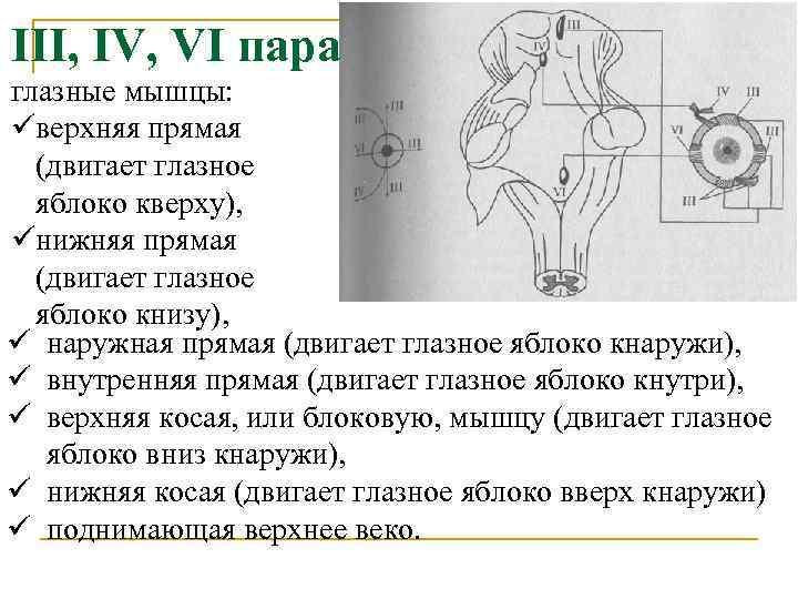 III, IV, VI пара глазные мышцы: üверхняя прямая (двигает глазное яблоко кверху), üнижняя прямая