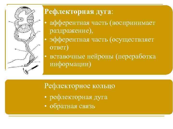 Рефлекторная дуга: • афферентная часть (воспринимает раздражение), • эфферентная часть (осуществляет ответ) • вставочные