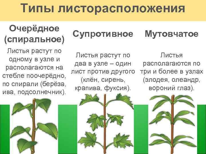 Листорасположение у растений в картинках квартиру вологде