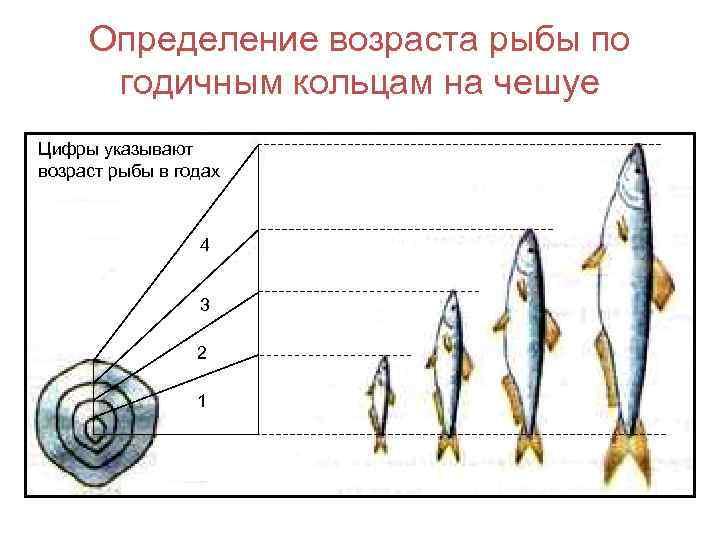 Определение возраста рыбы по годичным кольцам на чешуе Цифры указывают возраст рыбы в годах