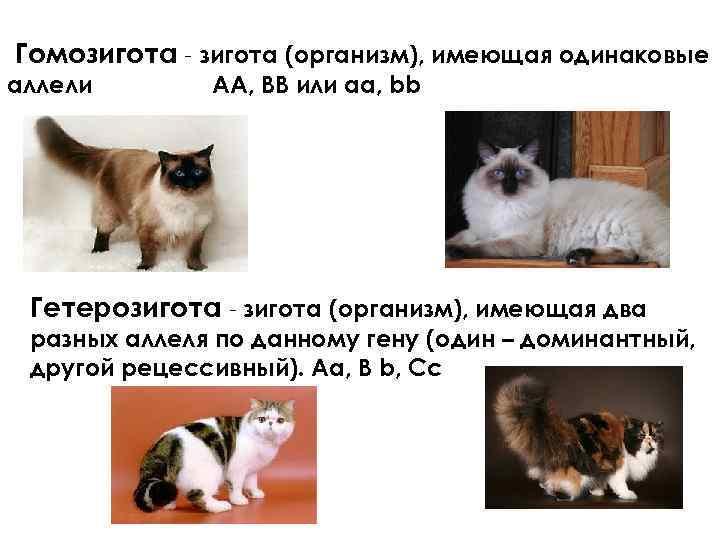 Гомозигота - зигота (организм), имеющая одинаковые аллели АА, ВВ или аа, bb Гетерозигота -