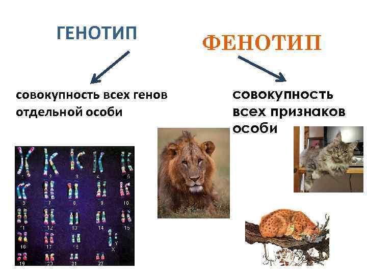 ГЕНОТИП совокупность всех генов отдельной особи ФЕНОТИП совокупность всех признаков особи