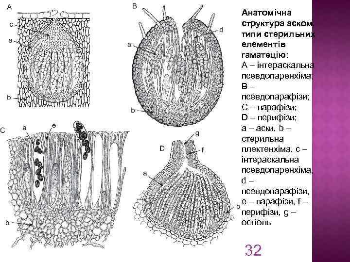 Анатомічна структура аском, типи стерильних елементів гаматецію: A – інтераскальна псевдопаренхіма; B – псевдопарафізи;