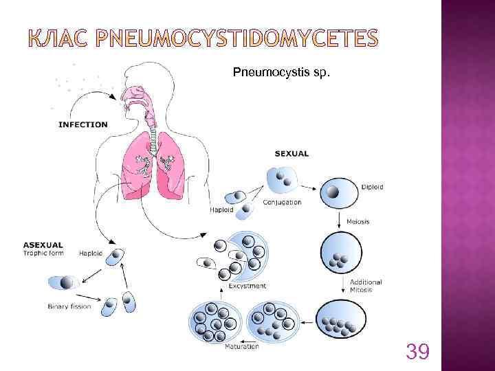 Pneumocystis sp. 39