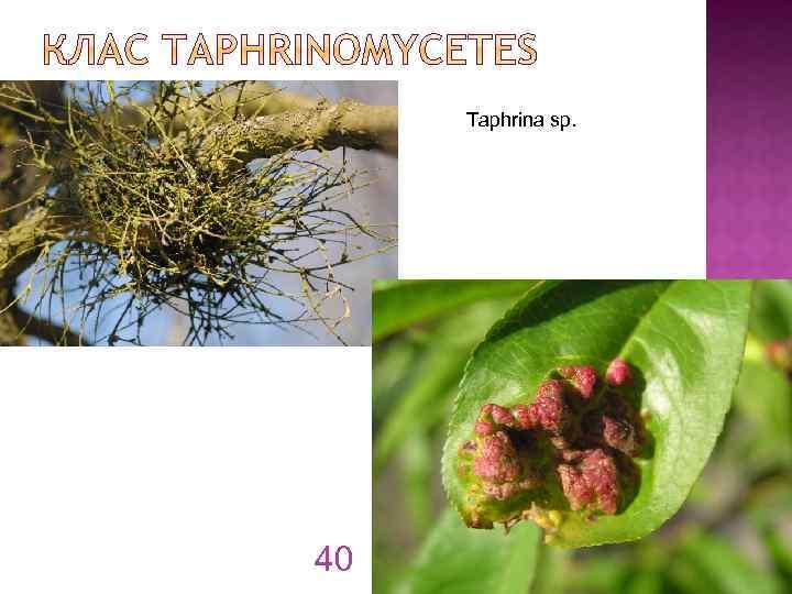 Taphrina sp. 40