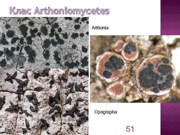 Клас Arthoniomycetes Arthonia Opegrapha 51