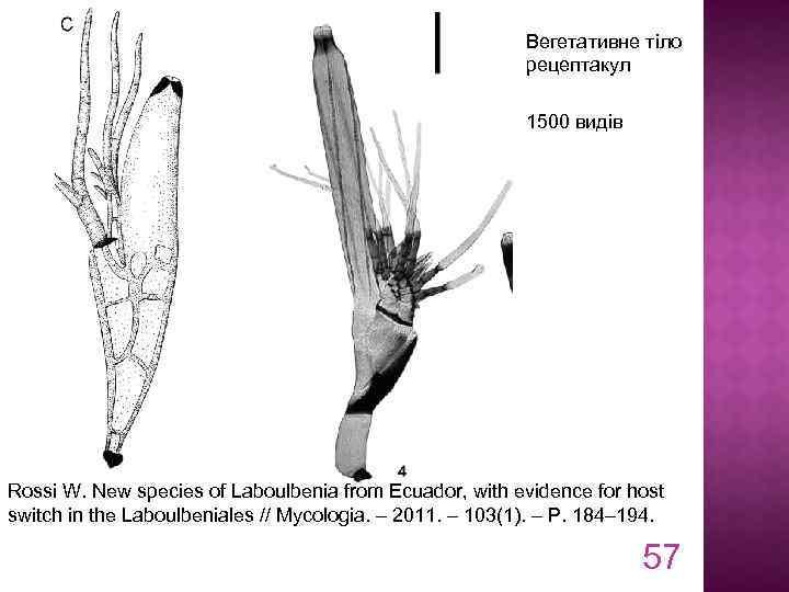 Вегетативне тіло рецептакул 1500 видів Rossi W. New species of Laboulbenia from Ecuador, with