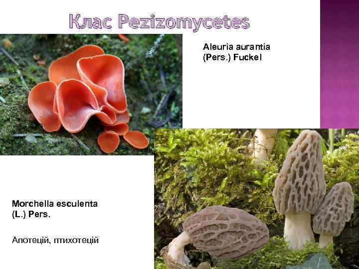 Клас Pezizomycetes Aleuria aurantia (Pers. ) Fuckel Morchella esculenta (L. ) Pers. Апотецій, птихотецій