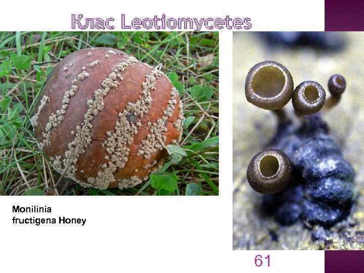 Клас Leotiomycetes Monilinia fructigena Honey 61