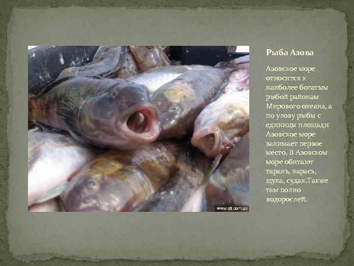 оба росли рыбы азовского моря названия и фото том кокосовым