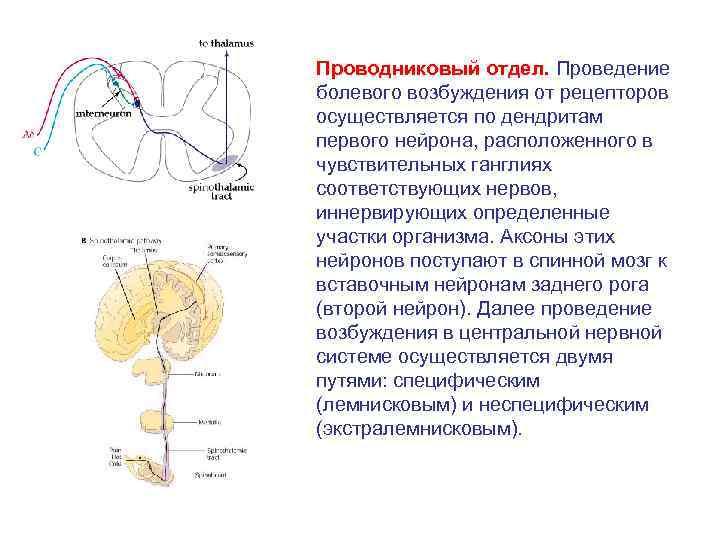 Проводниковый отдел. Проведение болевого возбуждения от рецепторов осуществляется по дендритам первого нейрона, расположенного в