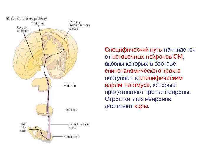 Специфический путь начинается от вставочных нейронов СМ, аксоны которых в составе спиноталамического тракта поступают