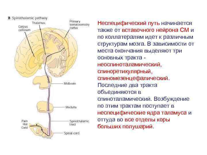 Неспецифический путь начинается также от вставочного нейрона СМ и по коллатералям идет к различным
