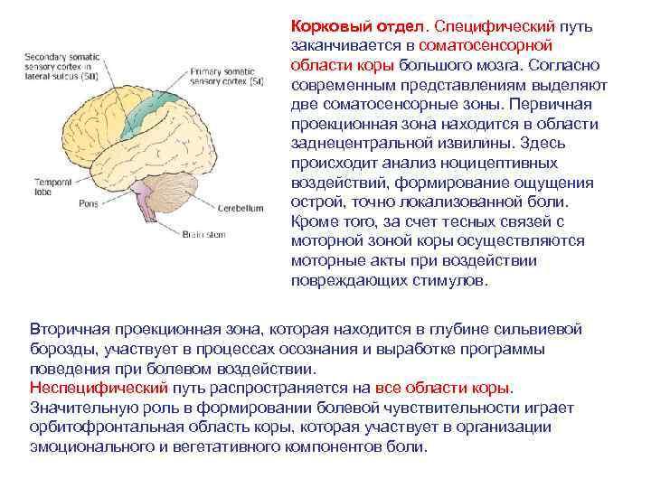 Корковый отдел. Специфический путь заканчивается в соматосенсорной области коры большого мозга. Согласно современным представлениям