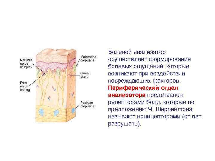 Болевой анализатор осуществляет формирование болевых ощущений, которые возникают при воздействии повреждающих факторов. Периферический отдел