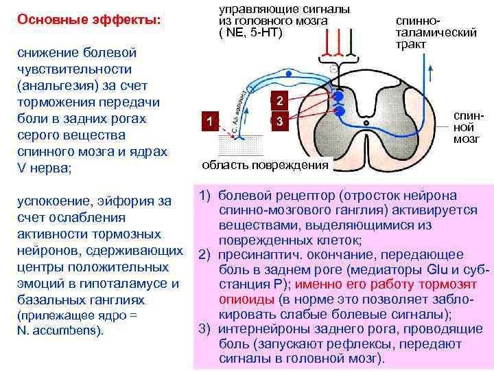 управляющие сигналы из головного мозга ( NE, 5 -НТ) Основные эффекты: снижение болевой чувствительности