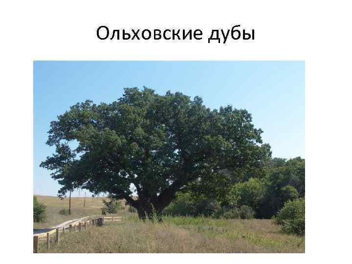 Ольховские дубы