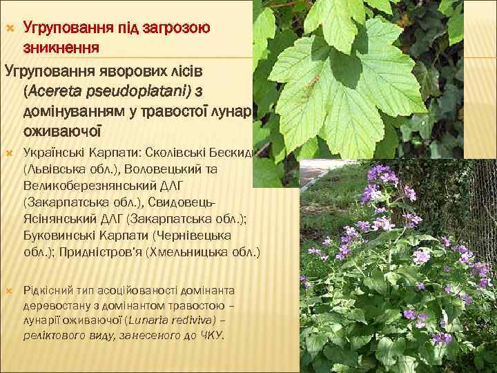 Угруповання під загрозою зникнення Угруповання яворових лісів (Aceretа pseudoplatani) з домінуванням у травостої лунарії