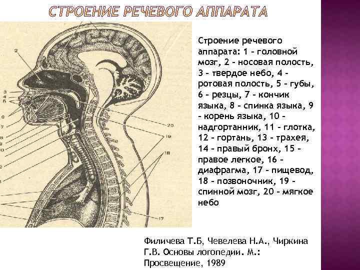 Строение речевого аппарата: 1 – головной мозг, 2 – носовая полость, 3 – твердое