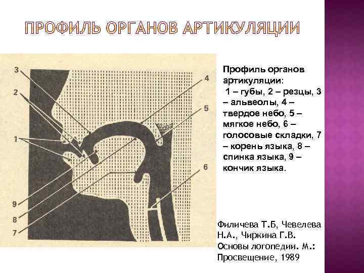 Профиль органов артикуляции: 1 – губы, 2 – резцы, 3 – альвеолы, 4 –