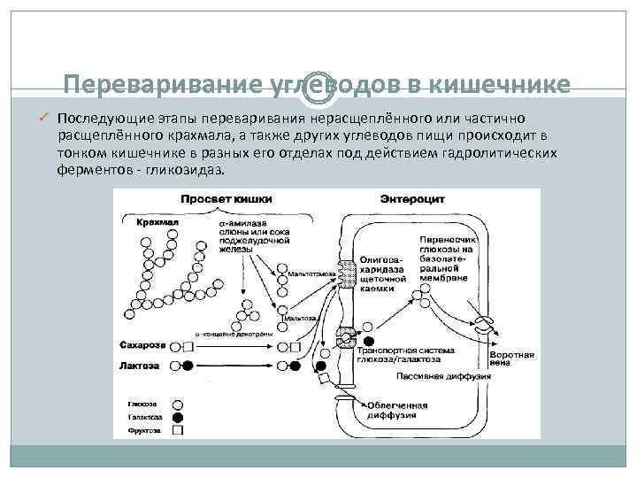 Переваривание углеводов в кишечнике ü Последующие этапы переваривания нерасщеплённого или частично расщеплённого крахмала, а