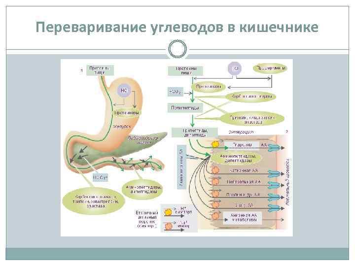 Переваривание углеводов в кишечнике
