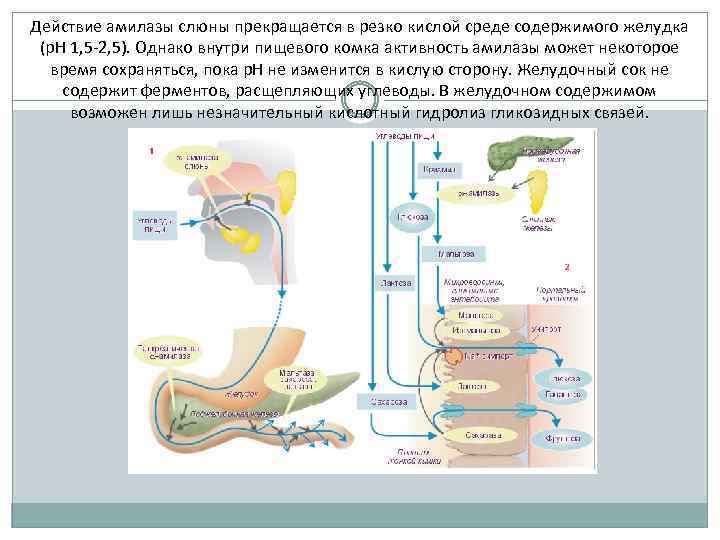 Действие амилазы слюны прекращается в резко кислой среде содержимого желудка (р. Н 1, 5