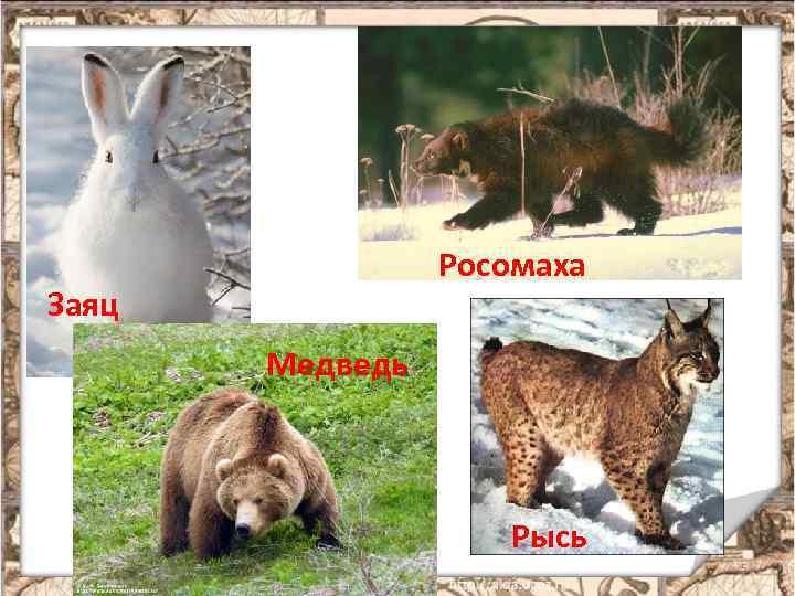 Росомаха Заяц Медведь Рысь 5
