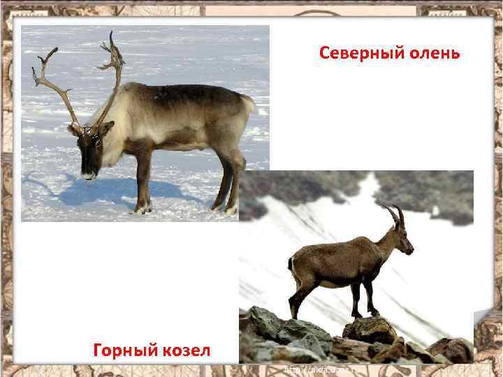 Северный олень Горный козел 7