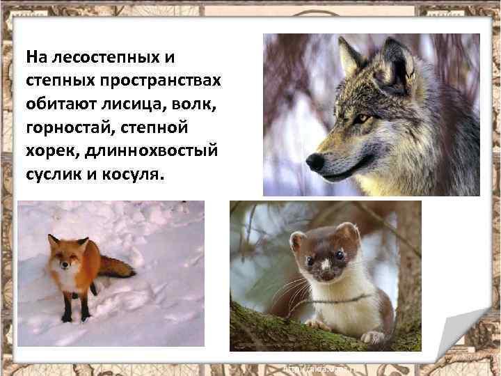 На лесостепных и степных пространствах обитают лисица, волк, горностай, степной хорек, длиннохвостый суслик и