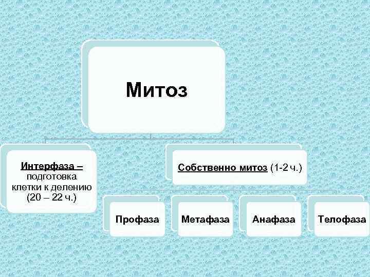 Митоз Интерфаза – подготовка клетки к делению (20 – 22 ч. ) Собственно митоз