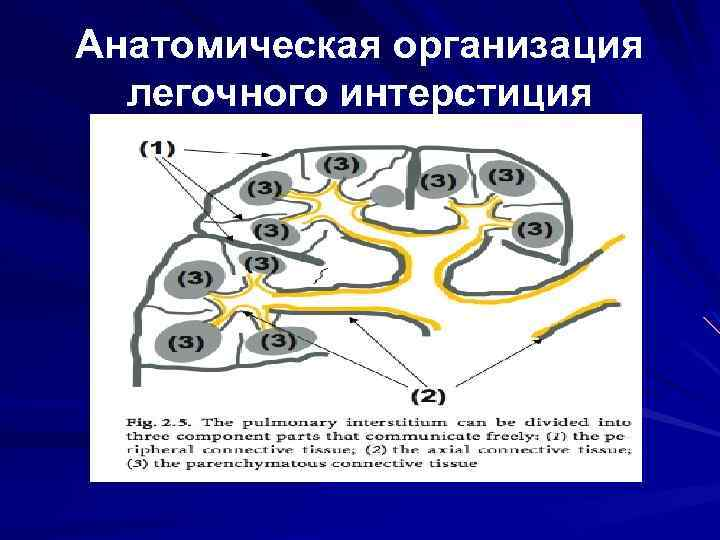 Анатомическая организация легочного интерстиция