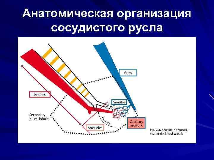 Анатомическая организация сосудистого русла