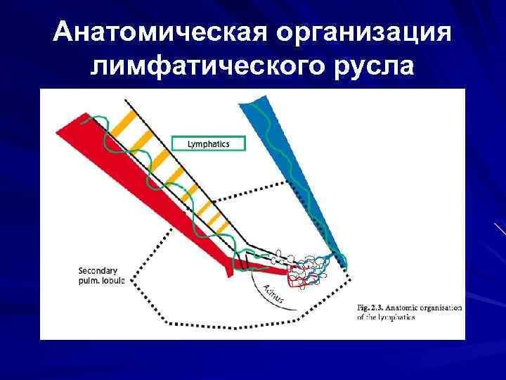 Анатомическая организация лимфатического русла