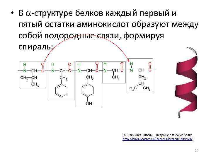 • В a-структуре белков каждый первый и пятый остатки аминокислот образуют между собой
