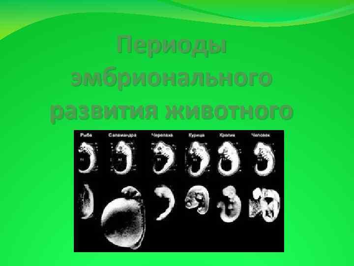 Периоды эмбрионального развития животного
