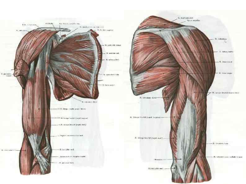 Картинка дельтовидных мышц