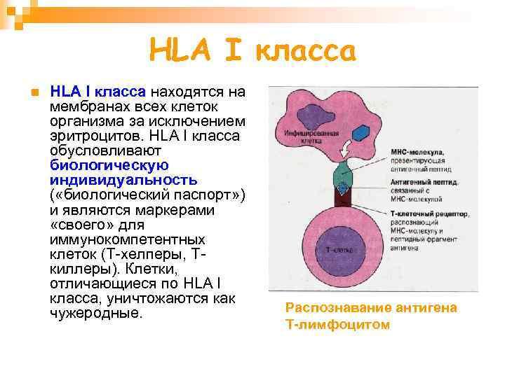 HLA I класса n HLA I класса находятся на мембранах всех клеток организма за