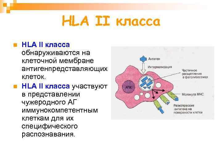 HLA II класса n n HLA II класса обнаруживаются на клеточной мембране антигенпредставляющих клеток.