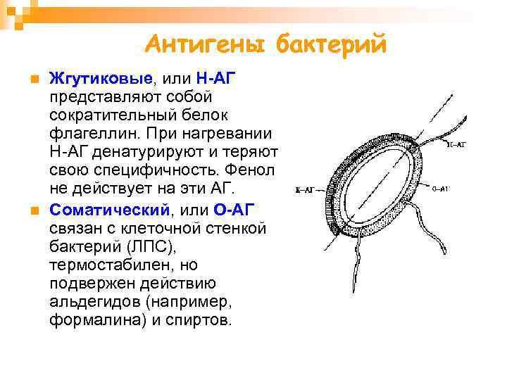 Антигены бактерий n n Жгутиковые, или H-АГ представляют собой сократительный белок флагеллин. При нагревании