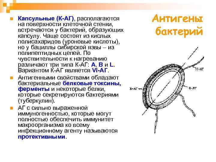 n n n Капсульные (К-АГ), располагаются на поверхности клеточной стенки, встречаются у бактерий, образующих