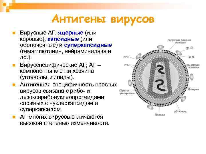 Антигены вирусов n n Вирусные АГ: ядерные (или коровые), капсидные (или оболочечные) и суперкапсидные