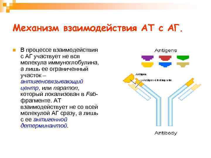 Механизм взаимодействия АТ с АГ. n В процессе взаимодействия с АГ участвует не вся