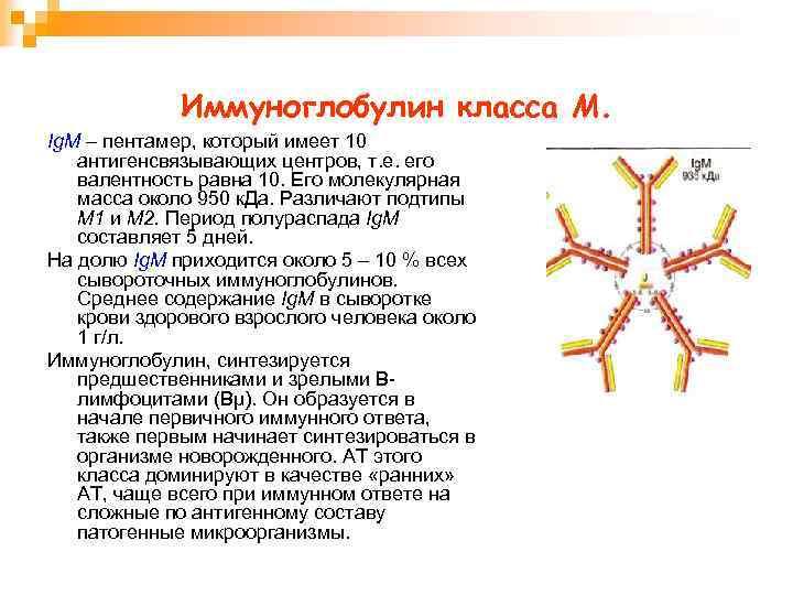 Иммуноглобулин класса М. Ig. М – пентамер, который имеет 10 антигенсвязывающих центров, т. е.