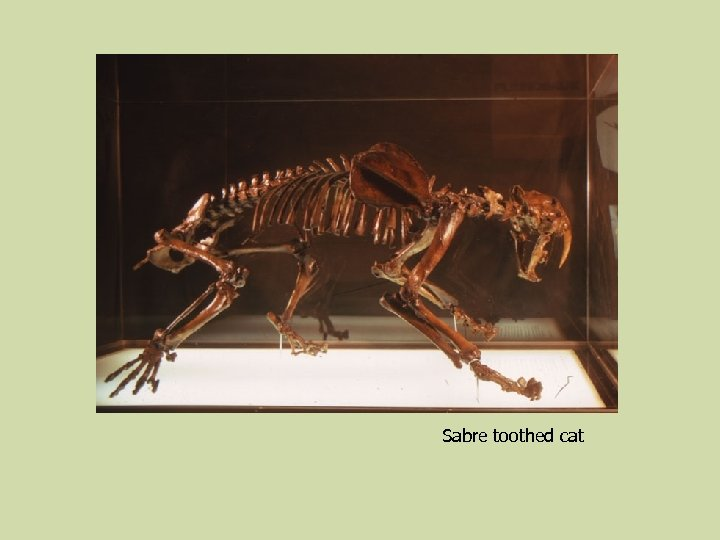 Sabre toothed cat