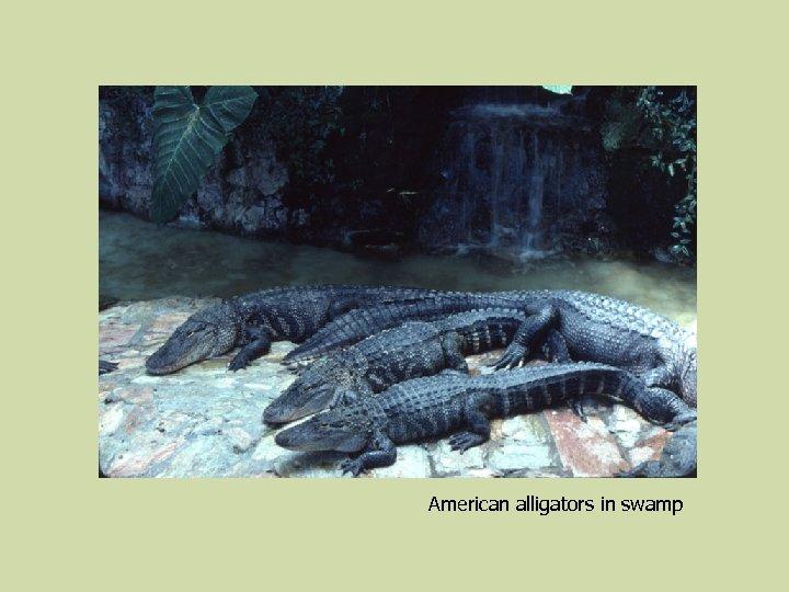 American alligators in swamp
