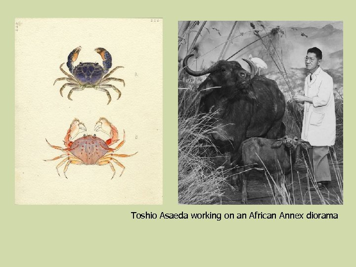 Toshio Asaeda working on an African Annex diorama