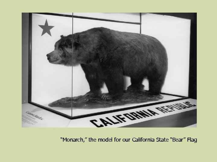 """""""Monarch, """" the model for our California State """"Bear"""" Flag"""