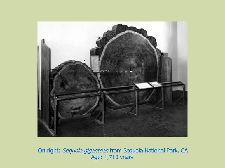 On right: Sequoia gigantean from Sequoia National Park, CA Age: 1, 710 years