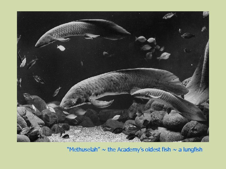 """""""Methuselah"""" ~ the Academy's oldest fish ~ a lungfish"""